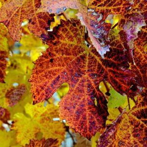 Grape Leaves of Autumn