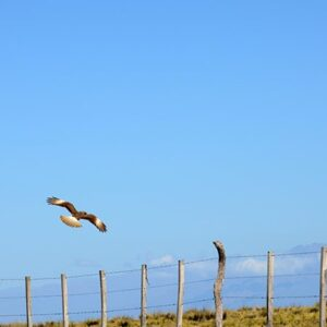 Chimango Falcon In Flight