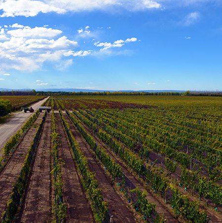 Working The Vineyards