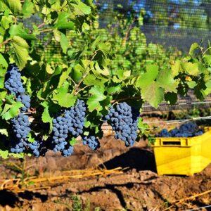 Picking Pinot Noir