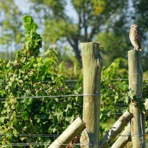 Owl Vineyard Guard