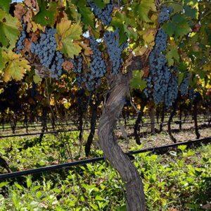 Grape Vine Deliciousness