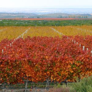 Fall Grape Vineyards